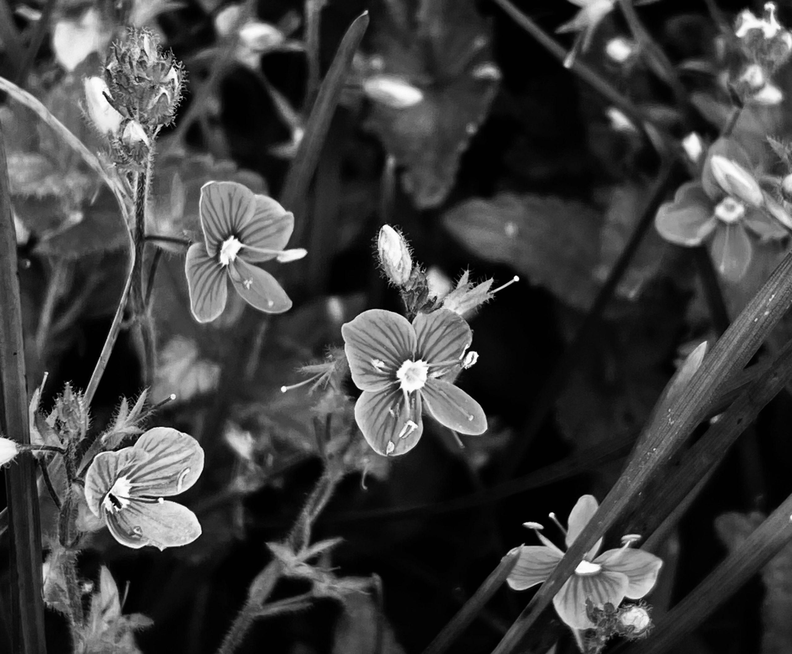 Veronique petit chêne Refuge du Grenairon
