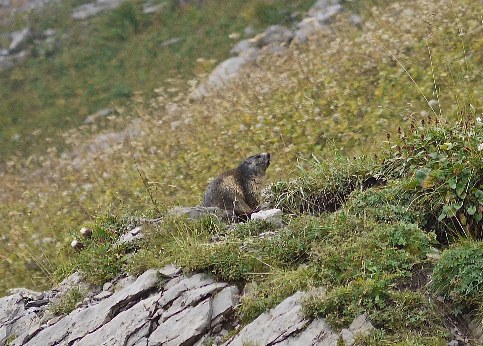 Marmotte du Refuge du Grenairon