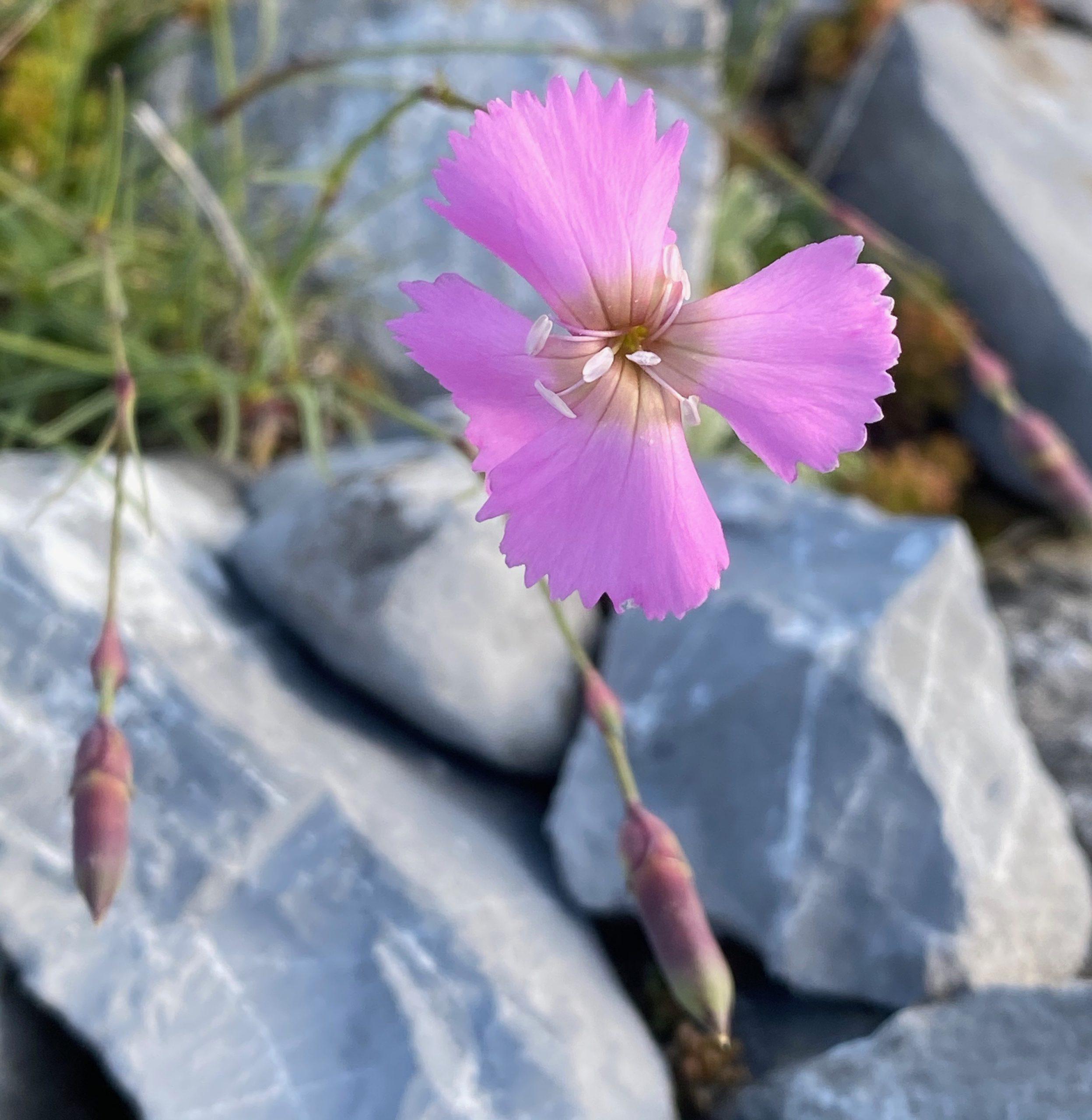 Oeillet des rochers Refuge du Grenairon